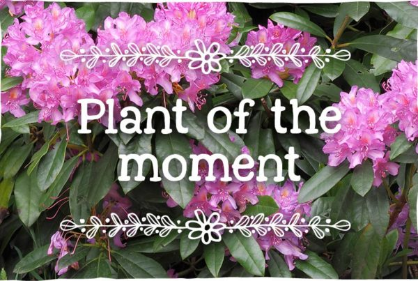 rhododendron-plant-of-the-moment1