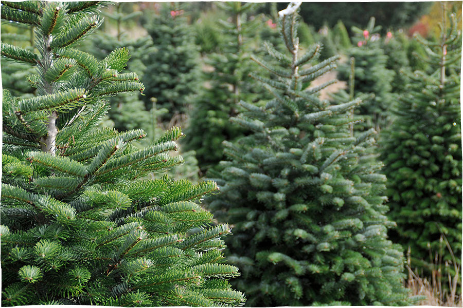 Christmas Trees on sale from 21st November