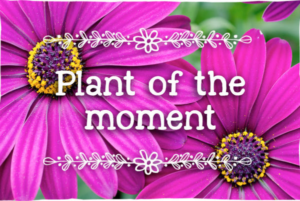 osteospermum-plant-of-the-moment