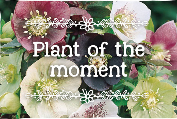 helleborus-plant-of-the-moment